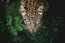 retrato de leopardo